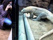 Komodo Dragon, Barcelona Zoo