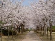 cherry-blossoms-553579