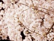 cherry-blossom-987192