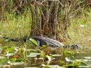 USA_Florida_Everglades_Airboat tour alligator