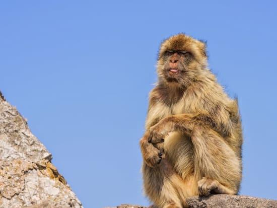 barbary macaque, monkey, gibraltar