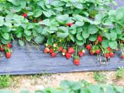 strawberry picking tour