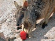 wallaby-1196769_1280
