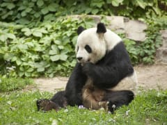 giant panda safari park guangzhou from hong kong