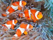 _generic_fish_shoal-of-clownfish_shutterstock_141051217 (1)