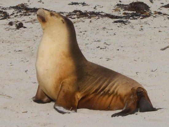 Australia Adelaide Kangaroo Island Fur Seal