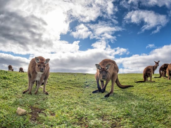 Australia Adelaide Kangaroo Island Kangaroos