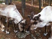 Reindeers-having-a-meal