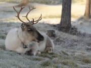 Visit to Genuine Local Reindeer Farm1
