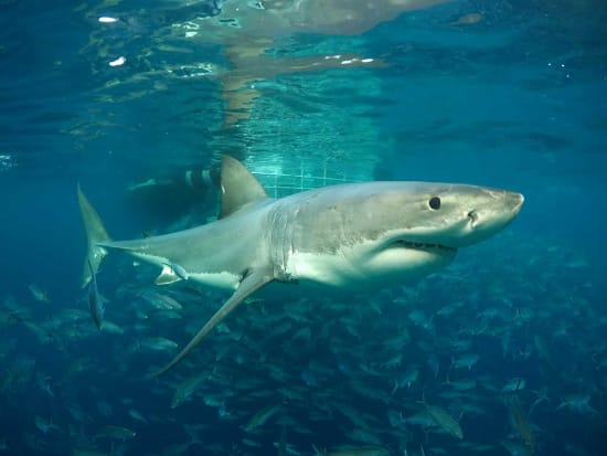 australia_SA_port-lincoln_shark-cage-diving_copyright_Calypso-Star-Charters_8-August