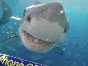 australia_SA_port-lincoln_shark-cage-diving_copyright_Calypso-Star-Charters_8