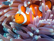 Great Barrier Reef Tour Clownfish Marine Life