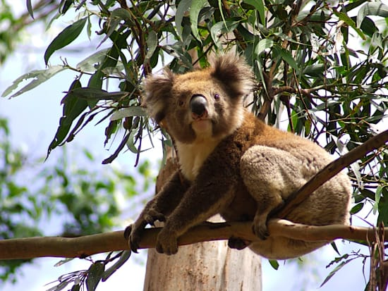 GOR Koala