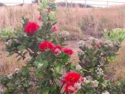 Hawaii_Big Island_Kailani Tours_Ohia Lehua Plant