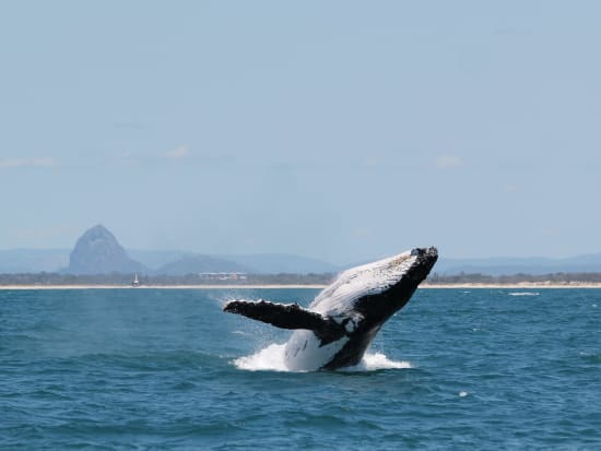 Whale breaching in front of Glasshouse Mtns 1 - photo by Katie Jackson