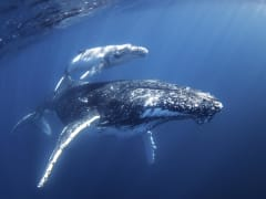 Mum & Calf - credit Migration Media - Underwater Imaging