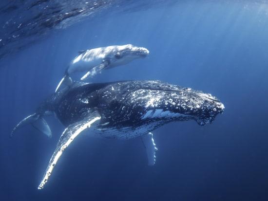 Mum & Calf - credit Migration Media - Underwater Imaging