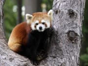 USA_San Diego_Five Star Tours_San Diego Red Panda