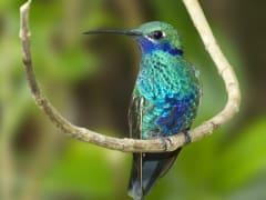 mindo humming bird-crop