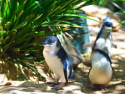 Melbourne Phillip Island Blue Penguins