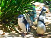 Australia_Melbourne_Phillip_Island_Blue_Penguins_shutterstock_402215596