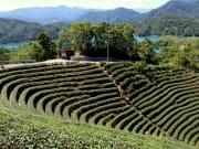 Bagua Tea Fields in Taipei