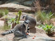 Australia Sydney Taronga Zoo Ring-tailed Lemurs