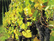barossa-grapes_banner