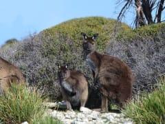 kangaroos_1920x1080px