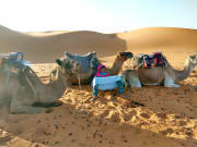 Camels-crop