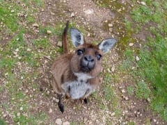Australia_adelaide_Kangaroo_Island_kangaroo_shutterstock_317635529
