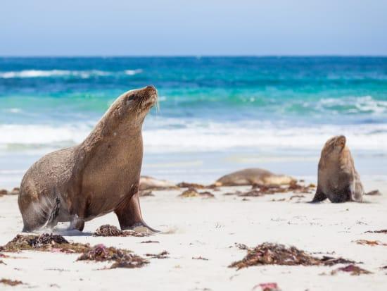Australia Adelaide Kangaroo Island Wild Seals