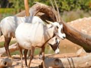 UAE_Dubai_Arabian_Oryx_shutterstock_174419063