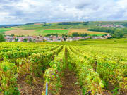 Champagne vineyards at Reims