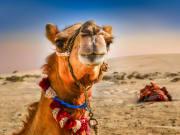 Dubai_Desert_Camel_shutterstock_185014823