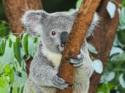 Australia_Queensland_Brisbane_Zoo_Koala_shutterstock_156828692