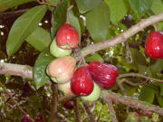 AAE_Manoa_mountainapple