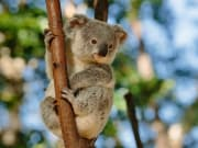 Australia_Queensland_Currumbin_Wildlife_Park_Koala