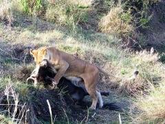 lion_photo_2