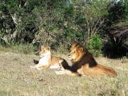 Lion_Photo_3