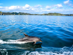 New_Zealand_Bay_of_Islands_dolphin_shutterstock_515378599