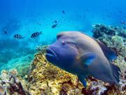 Australia_Cairns_Great_barrier_reef_Diving_Napoleon_Fish_shutterstock_171711359