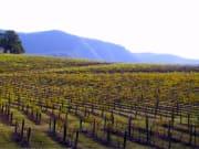 Vineyards of Hunter Valley Region in Australia