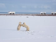 Tundra Buggy and Polar Bears Sparring - Richard Day