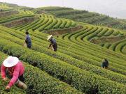 farmers planting at Dragon Well Tea Village