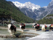 yaks blue moon valley jade dragon snow mountain