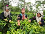 Araksa Tea Plantation Tea Garden Tour