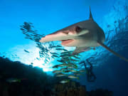 Hammerhead-Shark-Sphyrnidae-spp