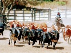 Seville Bull Farm