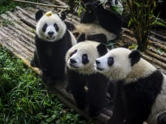 China_Chengdu_panda_base_shutterstock_604405700